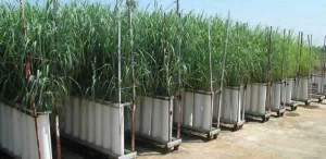 switchgrass biofuel